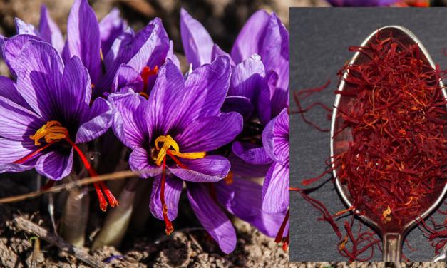 Saffron (Kesar) During Pregnancy & Benefits ofSaffron